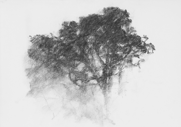 Chêne du Languedoc