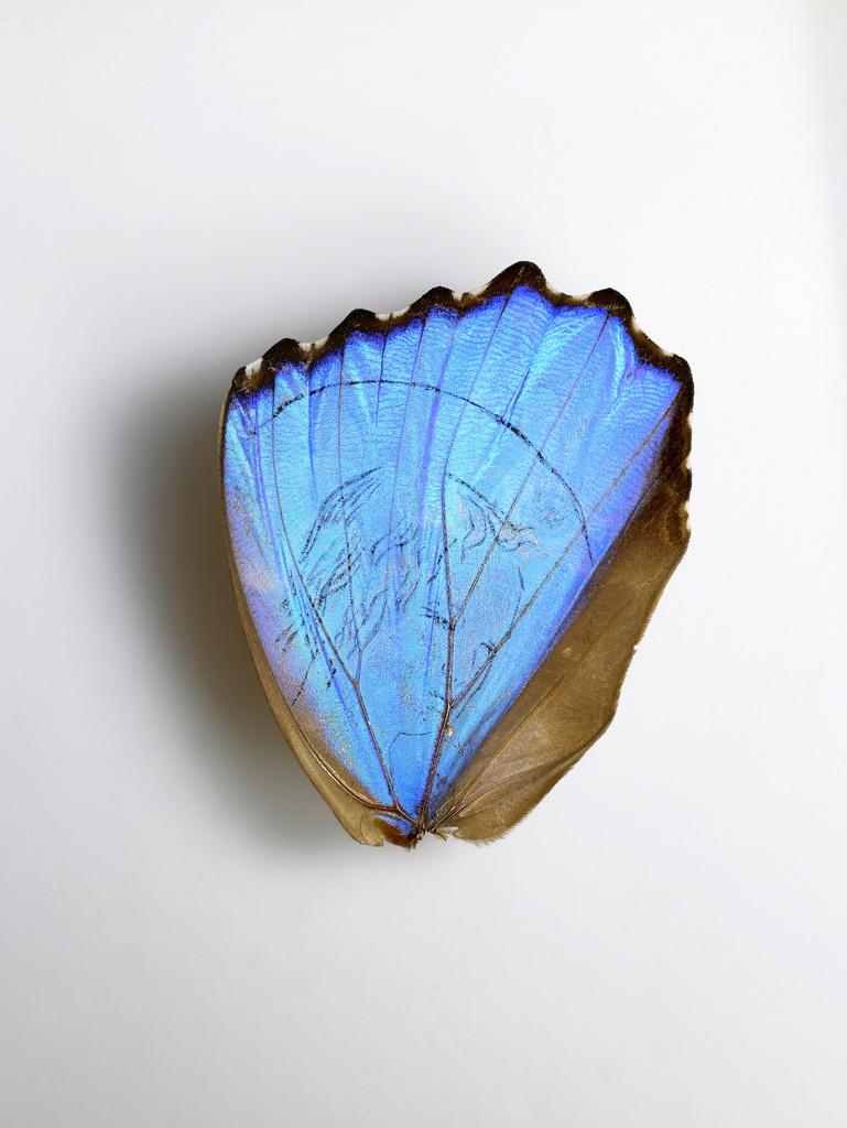 Aile de papillon, d'après Cimabue, encre de Chine