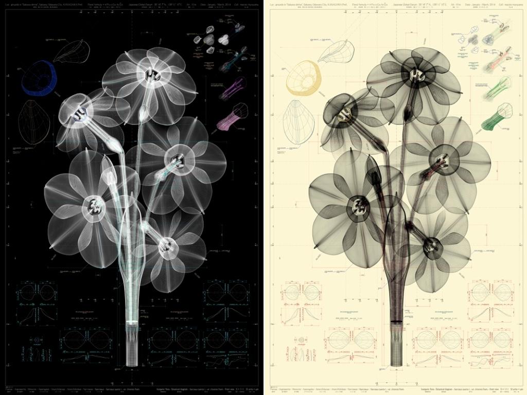 De gauche à droite : Narcissus tazetta@L. var. chinensis M.Roem@front views b and ow